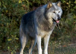 homepage-panel-wolf