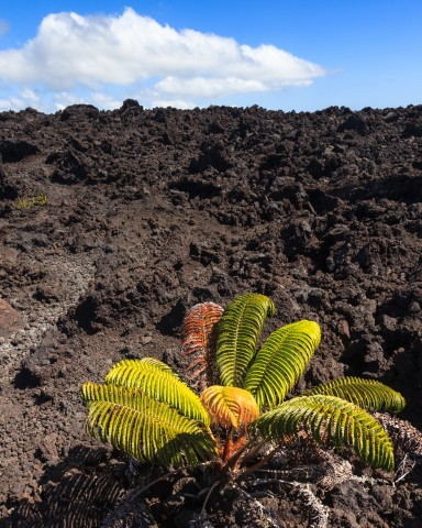 Lonely colorful fern (Sadleria cyatheoides) on a 1974 lava flow in Volcanoes National Park, Hawaii.
